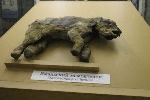 Mláďa mamuta