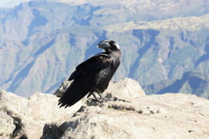 1.Corvus albicollis – krkavec bielokrký, typický obyvateľ Simienskych hôr