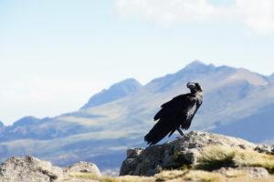 Krkavec bielokrký – Corvus albicollis