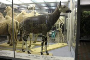 Okapia pralesná - najbližšia príbuzná žirafy (dokáže sa páriť niekoľkokrát za hodinu!)