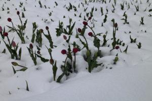 Tulipány sneh prekvapil rovnako ako nás